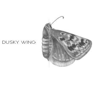Dusky Wing